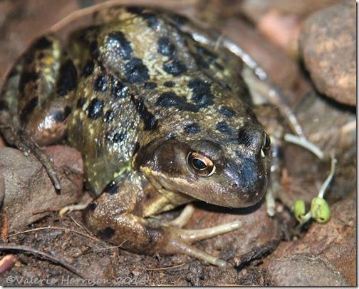 5 Common-frog