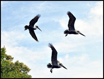 04b - 3 Pelicans
