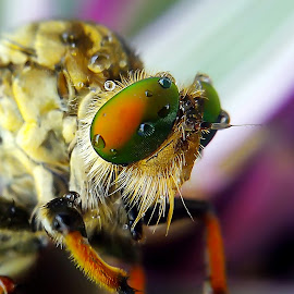 robberfly (crop version) by Hendrata Yoga Surya - Instagram & Mobile Android