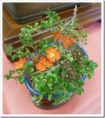 111023_CapitalCityBonsaiShow_flowering-quince_01