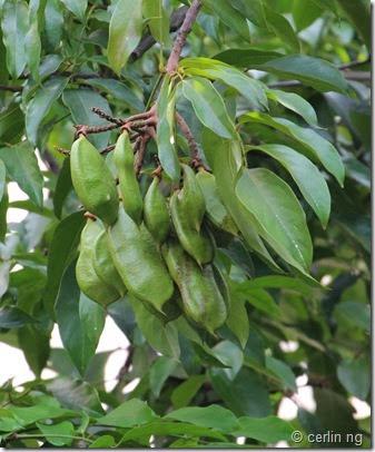 callerya atropupurea fruits