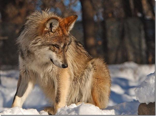 Lobos (8)