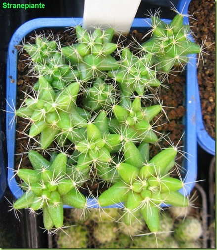 mammilaria longimamma 23-12-11