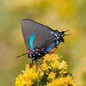 Great Blue (Purple) Hairstreak Butterfly