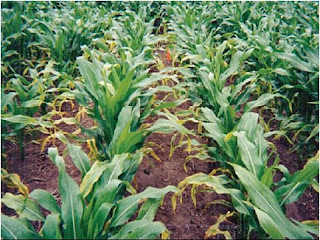 Photo Courtesy:  ISU Extension