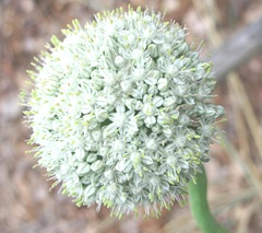 onion in bloom1