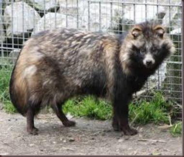 Amazing Animal Pictures Racoon Dog (11)