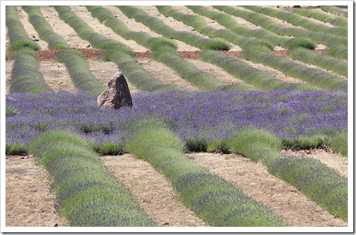 110710_Mt_Shasta_Lavender_Farm_80