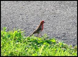 01d2 - birds - house finch
