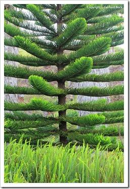 130715_KulaBotanicalGarden_Araucaria-heterophylla_002