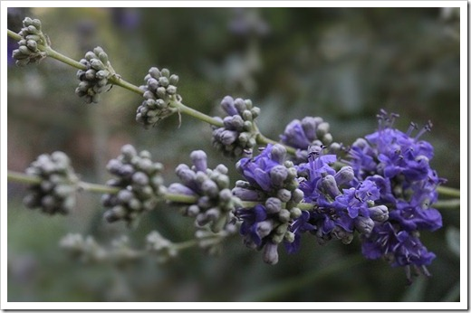 110703_vitex-agnus-castus