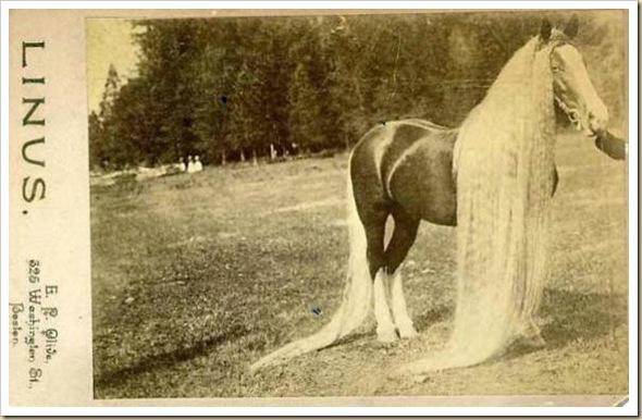 Linus le cheval aux crins les plus long du monde (2)
