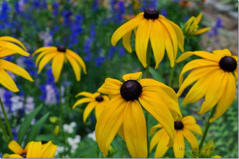 Black Eyed Susan yellow FlowerPatchFarmhouse.com