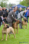 20100513-Bullmastiff-Clubmatch_31177.jpg