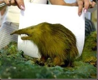 Amazing Pictures of Animals, photo, Nature exotic, funny, incredibel, Zoo, Solenodon, Mammalia, Alex (7)