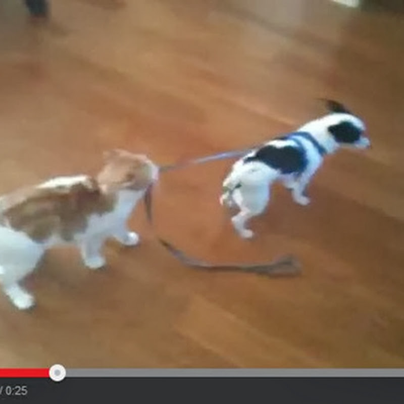 Γάτα σέρνει ένα σκύλο με το λουρί