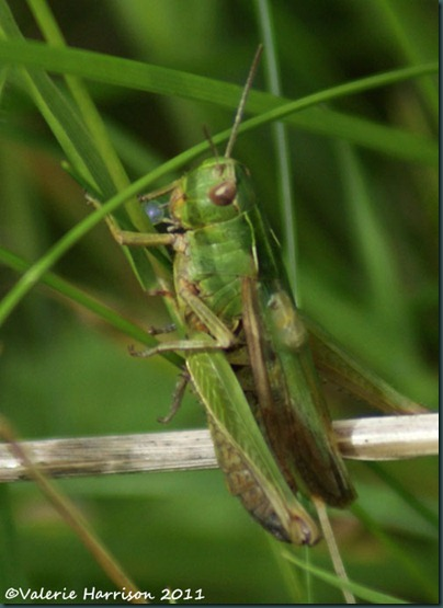 33-grasshopper