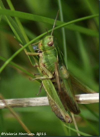33-grasshopper