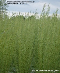 Salix koriyanagi 'Rubykins'