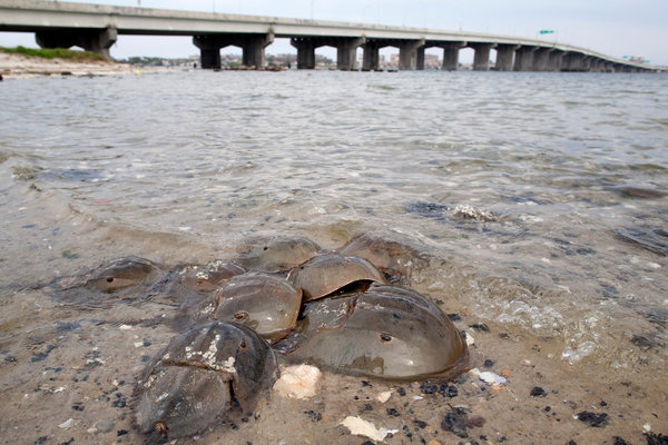Male horseshoe crabs gather around an egg-laying female off Rulers Bar Hassock, a section of Broad Channel in Jamaica Bay. They are considered an easy and lucrative catch in May and June. Photo: Brian Harkin / The New York Times