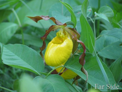 Yello Lady Slipper