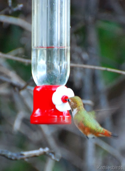 11. rufous hummingbird-kab