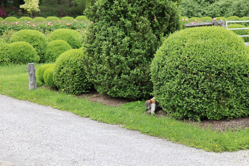 This large boxwood is the perfect hiding spot!