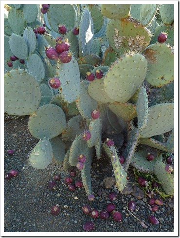 111008_rbg_Opuntia-with-fruit_01