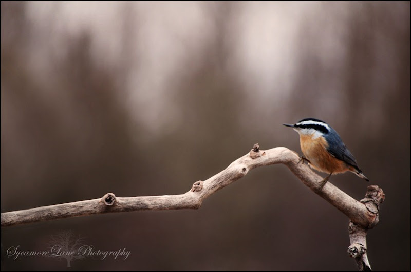 Red breasted Nuthatch-w-logo-SycamoreLane Photography
