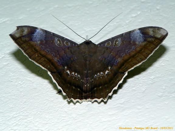 Noctuidae : Ophiderinae : Cyclopis caecutiens (Hübner, [1821]). Pitangui (MG, Brésil), 10 mars 2011. Photo : Nicodemos Rosa