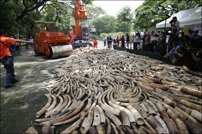 This 21 June 2013 file photo shows a steamroller and a backhoe used to crush seized elephant tusks during a destruction ceremony at the Protected Areas and Wildlife Bureau of the Department of Environment and Natural Resources in Quezon city, northeast of Manila, Philippines. Political and military elites are seizing protected areas in one of Africa's last bastions for elephants, putting broad swaths of Zimbabwe at risk of becoming fronts for ivory poaching, according to a nonprofit research group's report that examines government collusion in wildlife trafficking. Photo: Bullit Marquez / AP