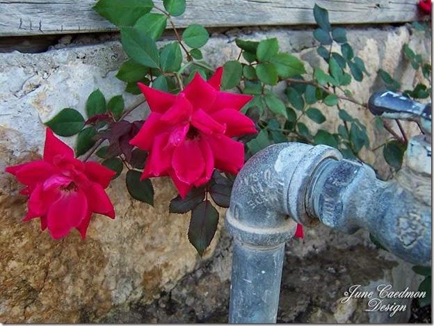 Roses_Spicket