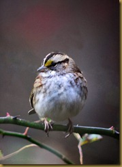 White-throated SparrowD7K_8357 November 04, 2011 NIKON D7000