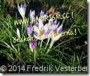 2014-03-09 12.24.00 (1) krokus blå med amorism text.png