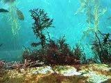 algae gelidium