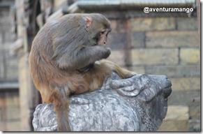 Macaco em Pashupatinah