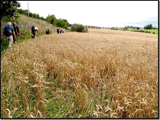 Unharvested field between the LMS Railway and White Bridge Brook