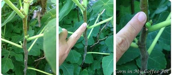 2014 Fig tree