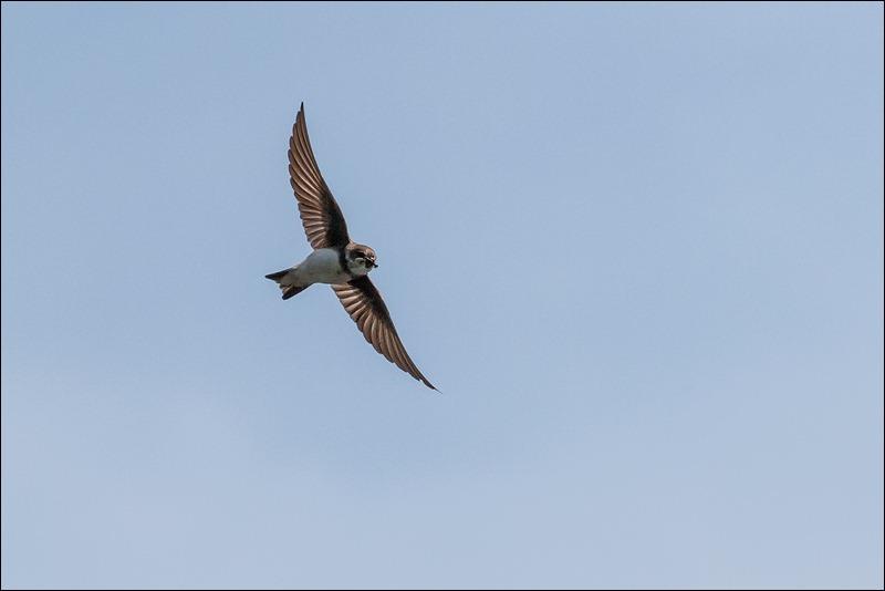 Sand Marting in flight