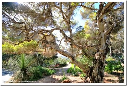 150325_SDBG_0006_Melaleuca-linarifolia