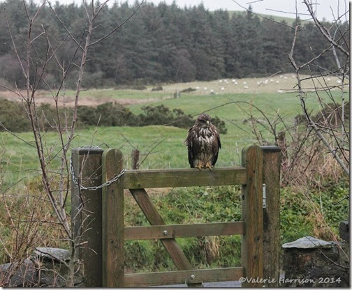 2 Buzzard-on-gate
