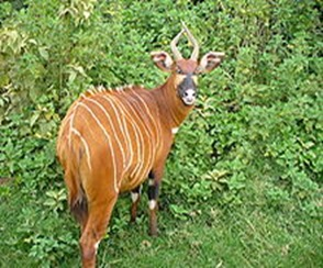 Amazing Pictures of Animals, photo, Nature, exotic, funny, incredibel, Zoo, Western or Lowland bongo, Tragelaphus eurycerus eurycerus, Mammals, Alex (12)