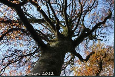 20-beech-tree