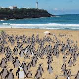 Une armée de pingouins sur les plages