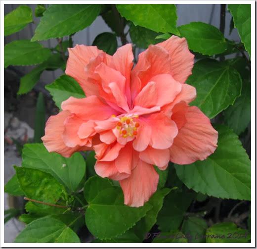02-27-hibiscus
