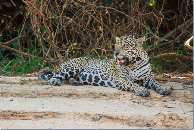 Pantanal_Jaguar-1
