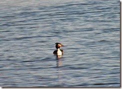 great crested grebe Feb 2015