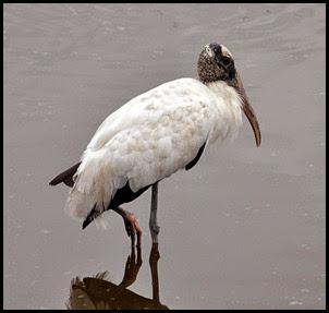 02d - birds - Wood Stork