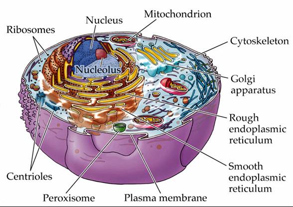 MCQ on Golgi body (Golgi Apparatus) ~ MCQ Biology ...