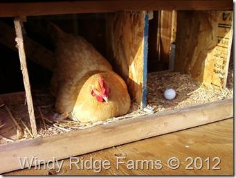 Chicken Coop (6)